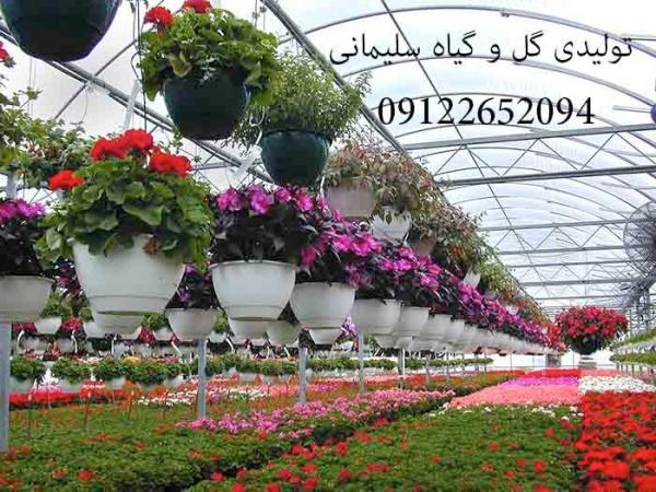 تولیدی گل و گیاه سلیمانی | تولید گل و گیاهان زینتی | تولید گل و گیاه آپارتمانی | فروش انواع گل و گیاه